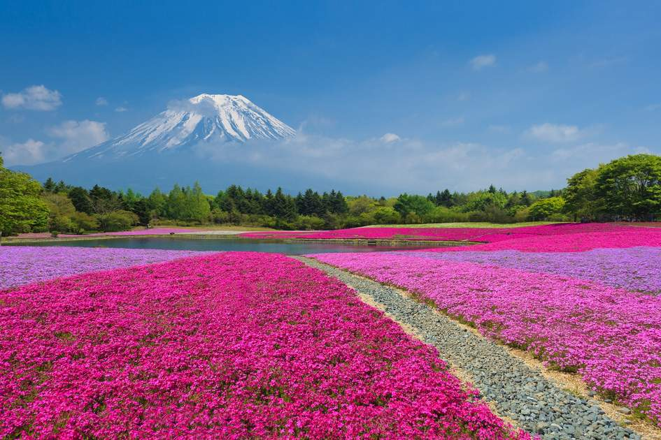 Mount Fuji, the perfect backdrop to the fields of pink moss in Yamanasi