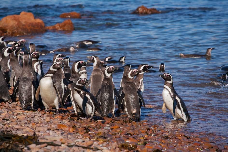 Magellanic Penguin, Patagonia, Argentina