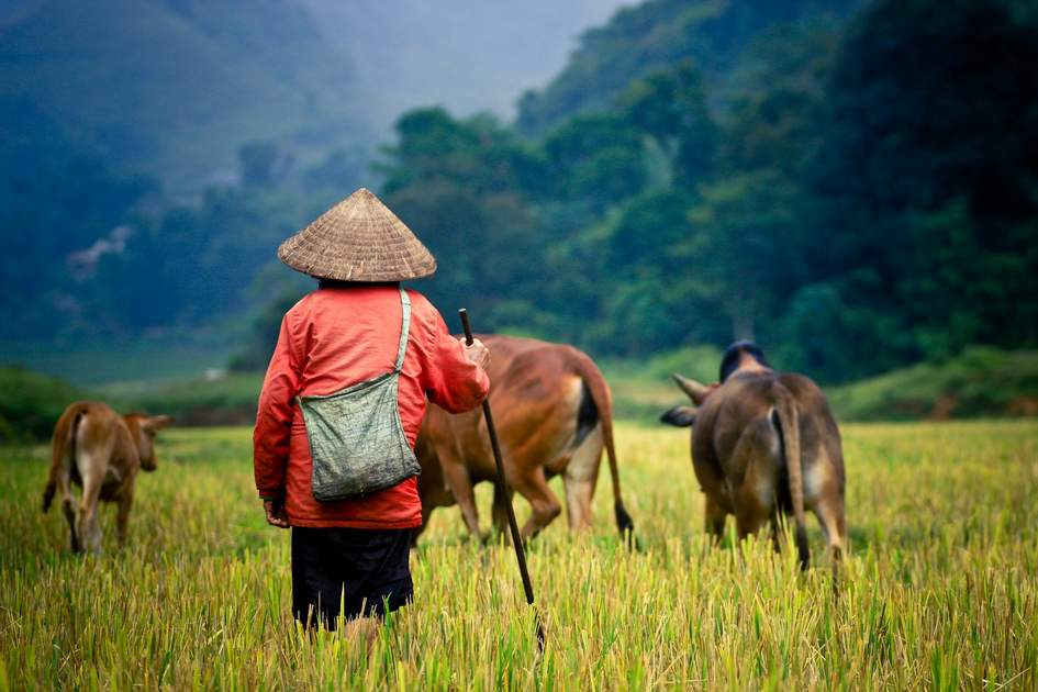 Shepherd and his buffalos in a rice field, Cambodia