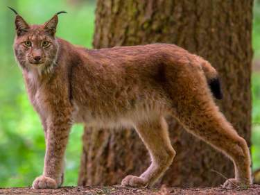 Eurasian lynx (Lynx lynx) is a medium-sized cat native to European and Siberian forests