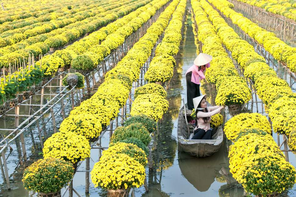 SA DEC, DONG THAP, VIETNAM: southern vietnamese women wearing traditional conical hat are preparing and cutting chrysanthemum flowers for the traditional festival.