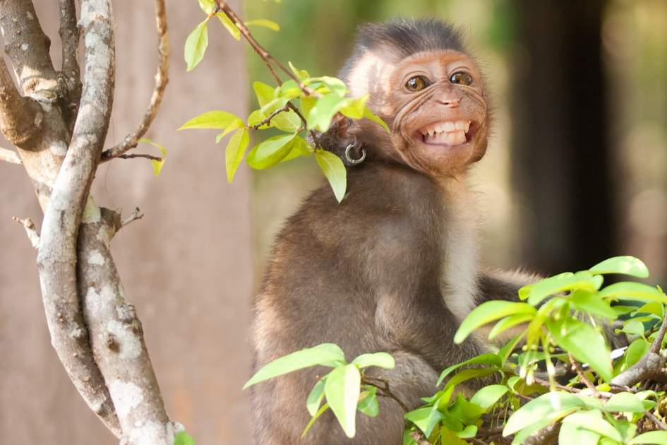 Smiling domestic monkey with earring (Cambodia)
