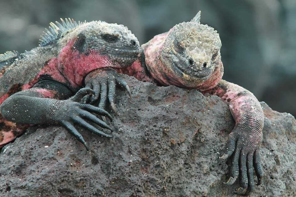 Galapagos Marine Iguanas (Amblyrhynchus cristatus) resting on rocks in La Espanola island, Galapagos