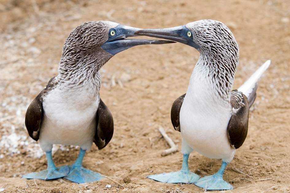 Blue footed boobies, Galápagos Islands