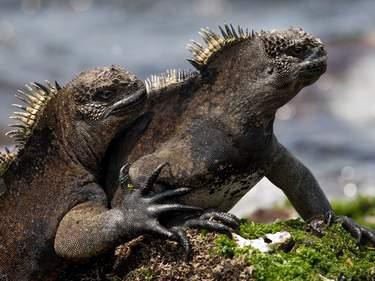 Marine iguanas, Galápagos Islands