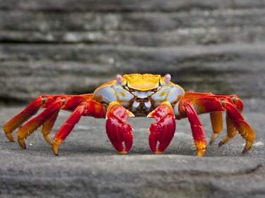 Sally Lightfoot Crab, Isla Fernandina, Galápagos Islands