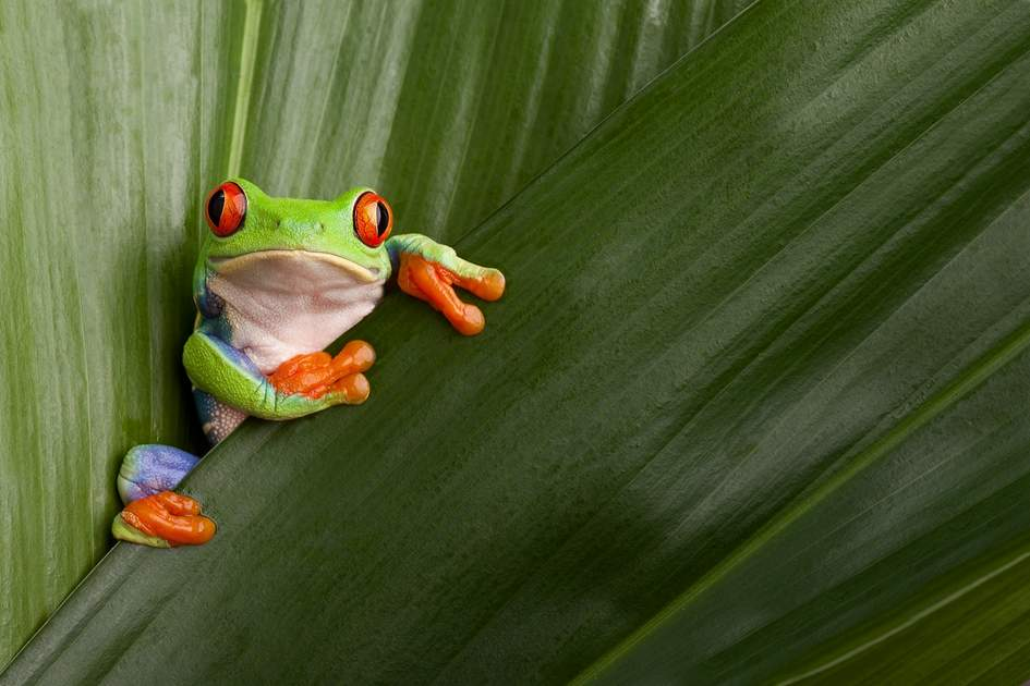 Treefrog Costa Rica rain forest
