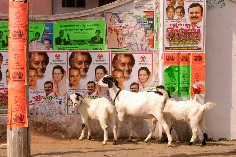India Cochin Goats Eating Posters