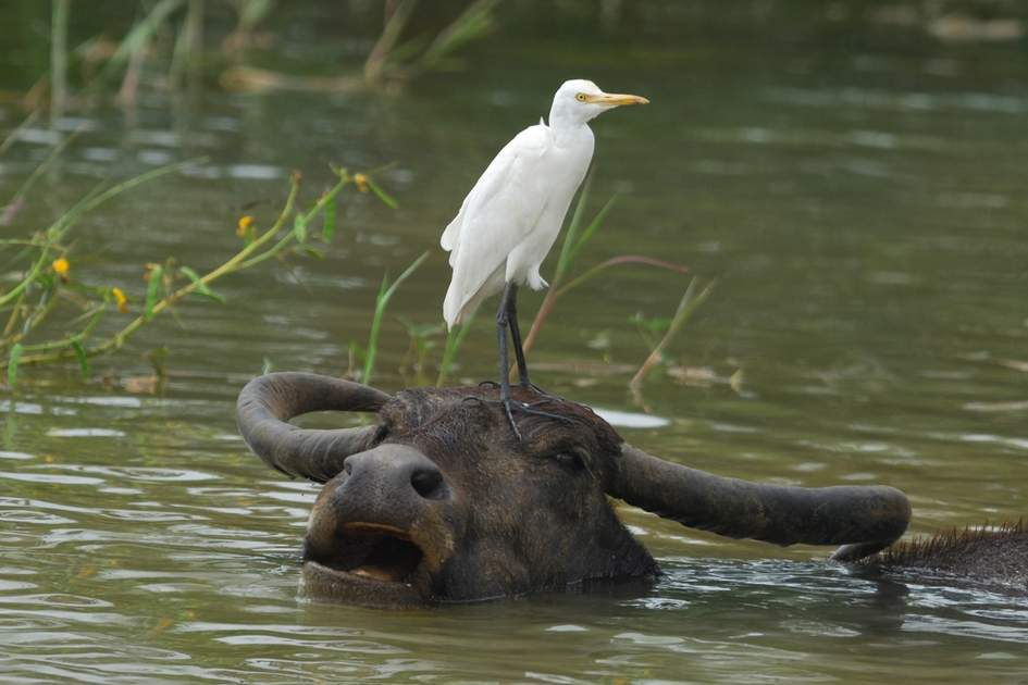 Cattle Egret standing on a Water Buffalo's head in Yala West National Park, Sri Lanka