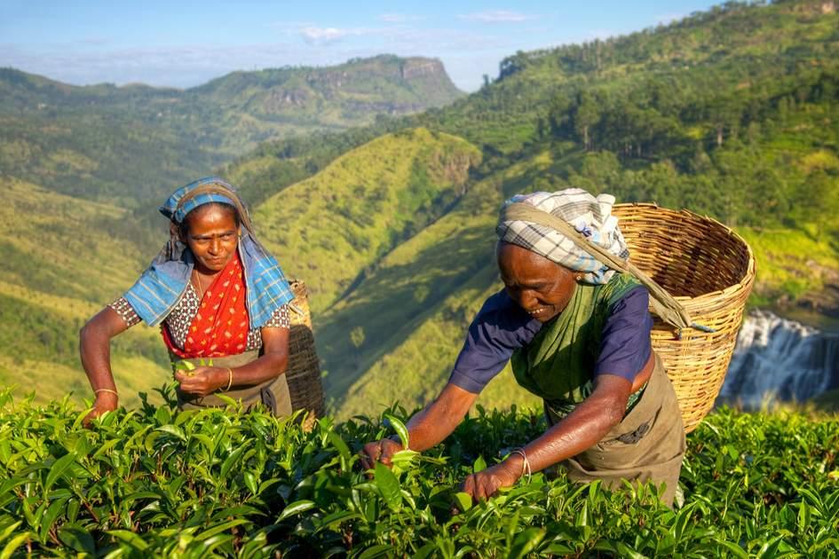 Picking tea leaves in Sri Lanka's hill country. Photo: Rawpixel/Shutterstock