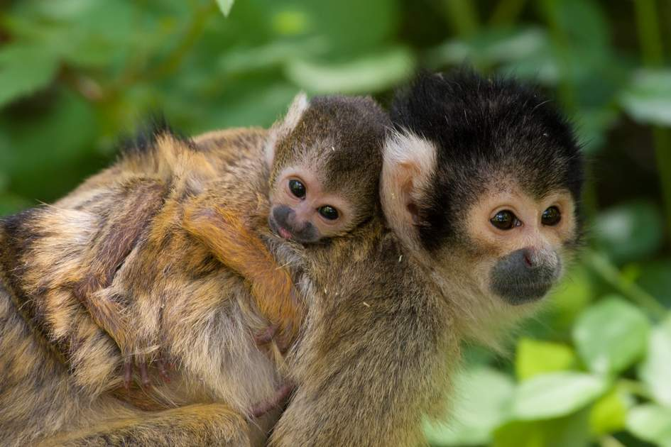 Costa Rican squirrel monkey and infant. Photo: Eric Gevaert/Shutterstock