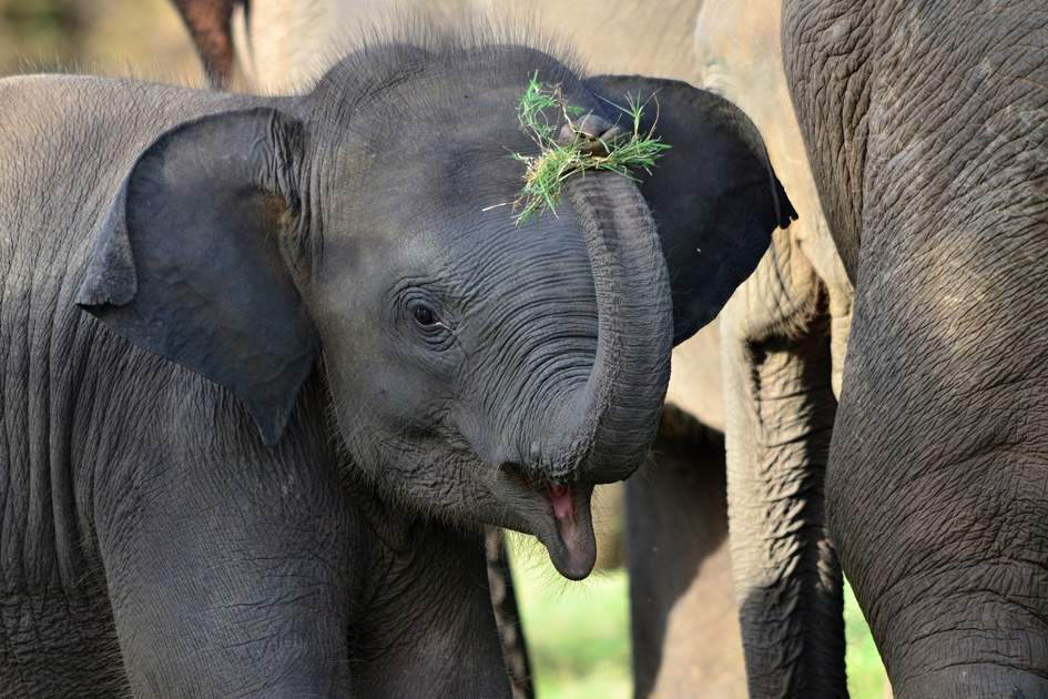 See adorable baby elephants at Pinnawela. Photo: Marek Velechovsky/Shutterstock