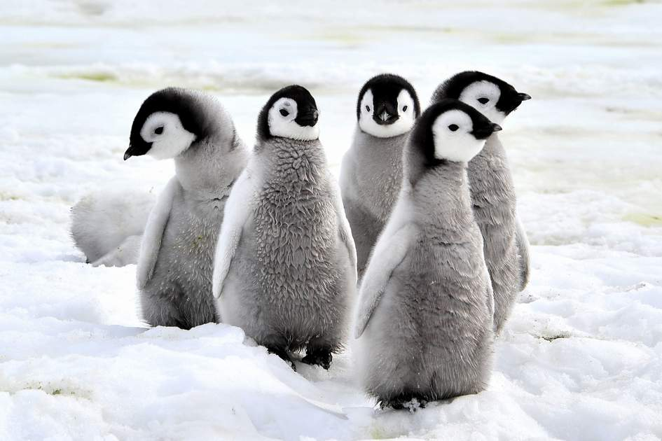 Penguin Chicks on the snow in Antarctica