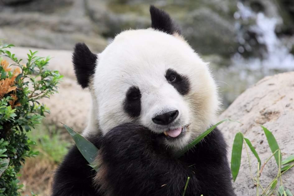 Giant panda eating bamboo leaves in Hong Kong Ocean Park