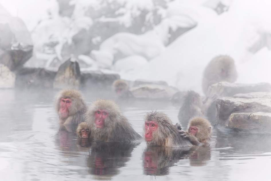 Japanese macaques enjoy an outdoor bath in Nagano