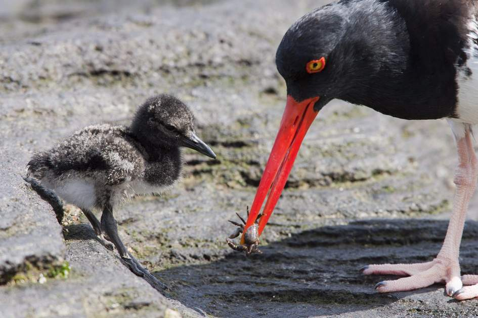 American Oystercatcher feeding its chick, Galápagos Islands