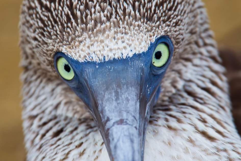Blue-footed booby, Galapagos Islands, Ecuador