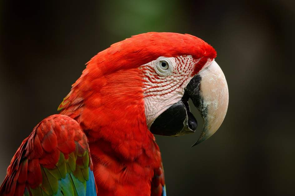 Green-winged Macaw (Ara chloropterus), Peru