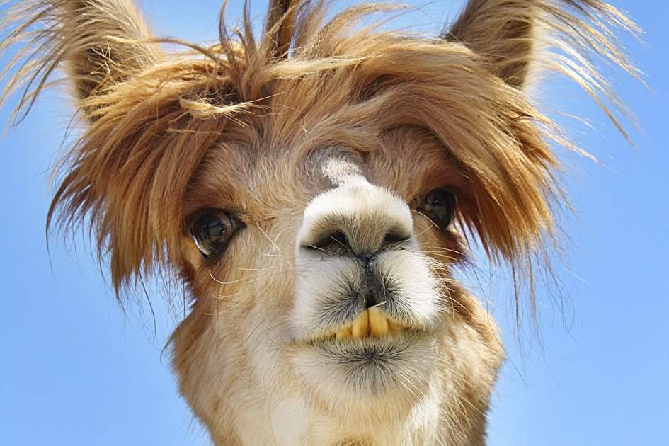 A Peruvian alpaca poses for a selfie
