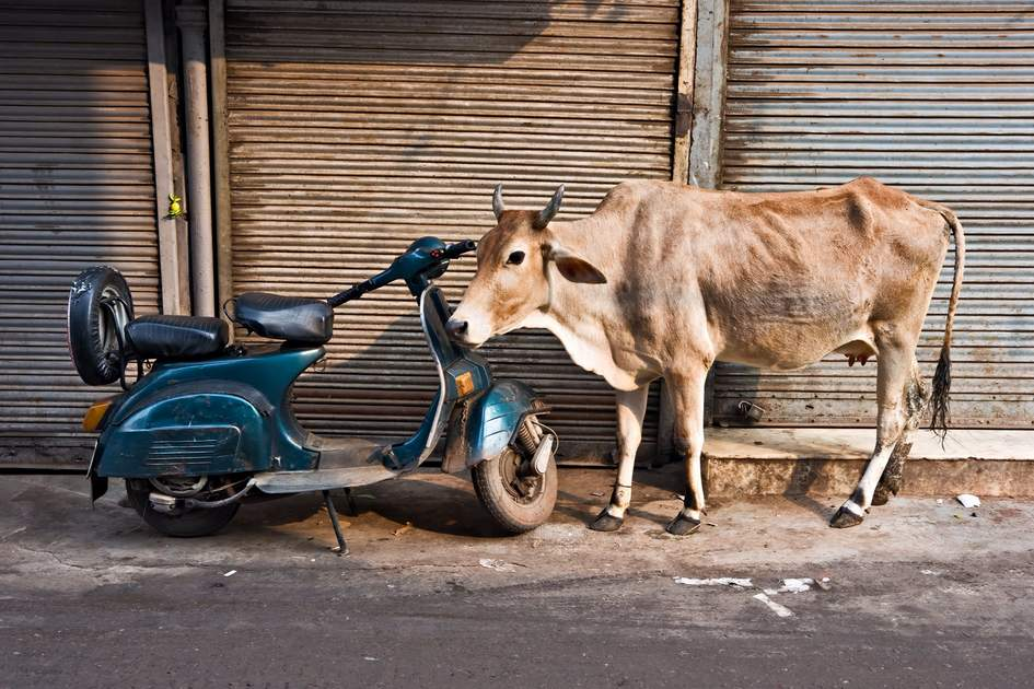 Sacred cow in Old Delhi, India.