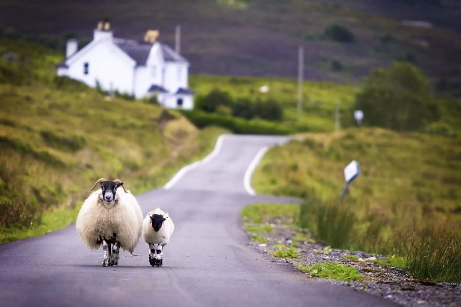 Sheep taking a stroll on the Isle of Skye, Scotland