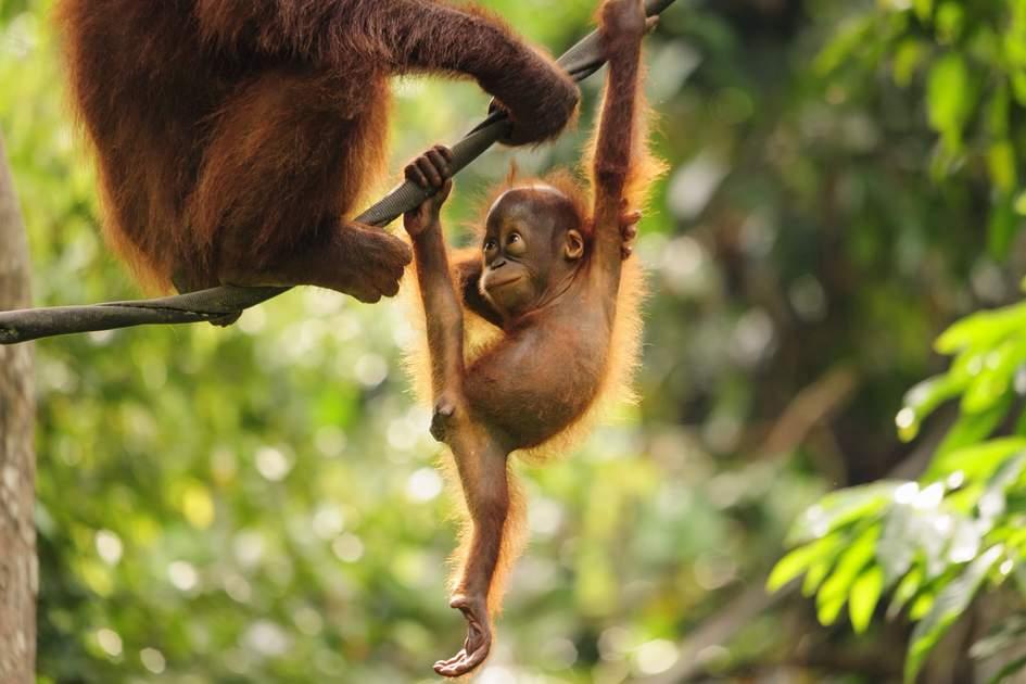 Baby Orangutan at Sepilok Orang-utan  Rehabilitation Centre in Malaysia