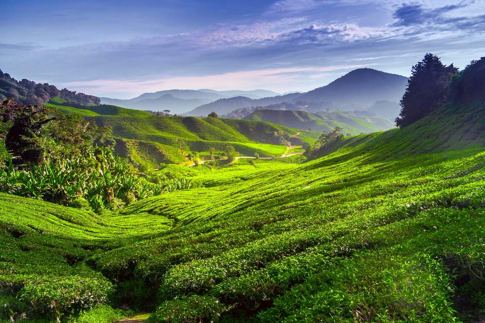 Cameron Highlands tea plantation in Malaysia.