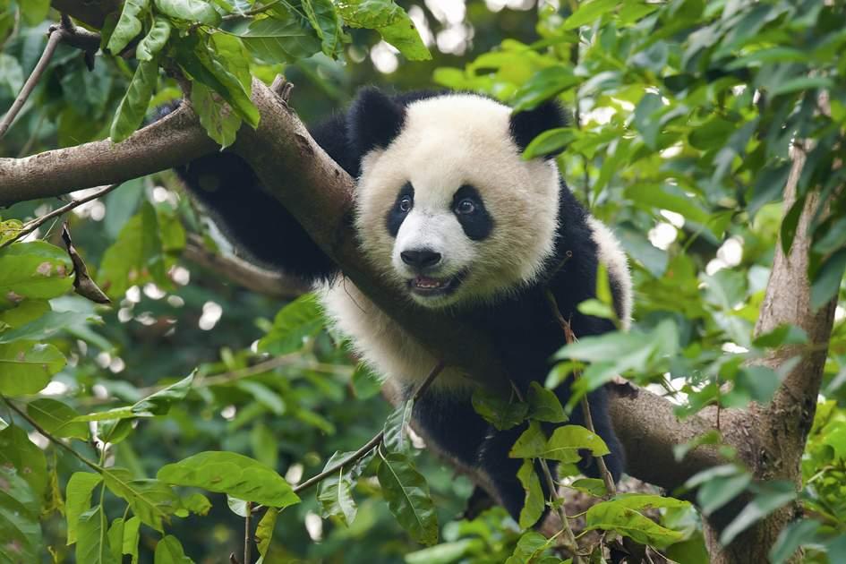 Wildlife in China: The giant panda.