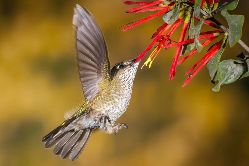 Andes wildlife: Green-backed firecrown feeding on nectar, Patagonia, Argentina. Photo: Shutterstock