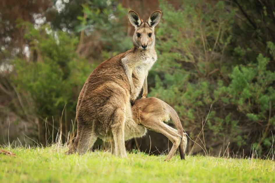Australian female Eastern Grey kangaroo (Macropus giganteus) with joey climbing into her pouch.