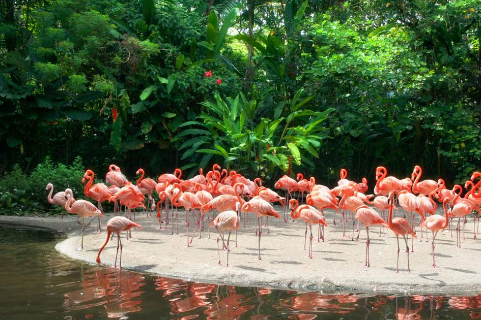 Red Flamingos in Florida.