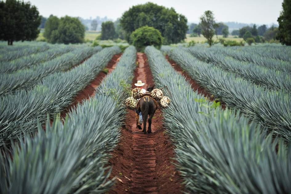 Blue agave plants being harvested for Tequila production, Jalisco, Mexico