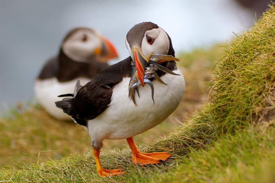 Puffin holding a good catch on Mykines, Faroe Islands