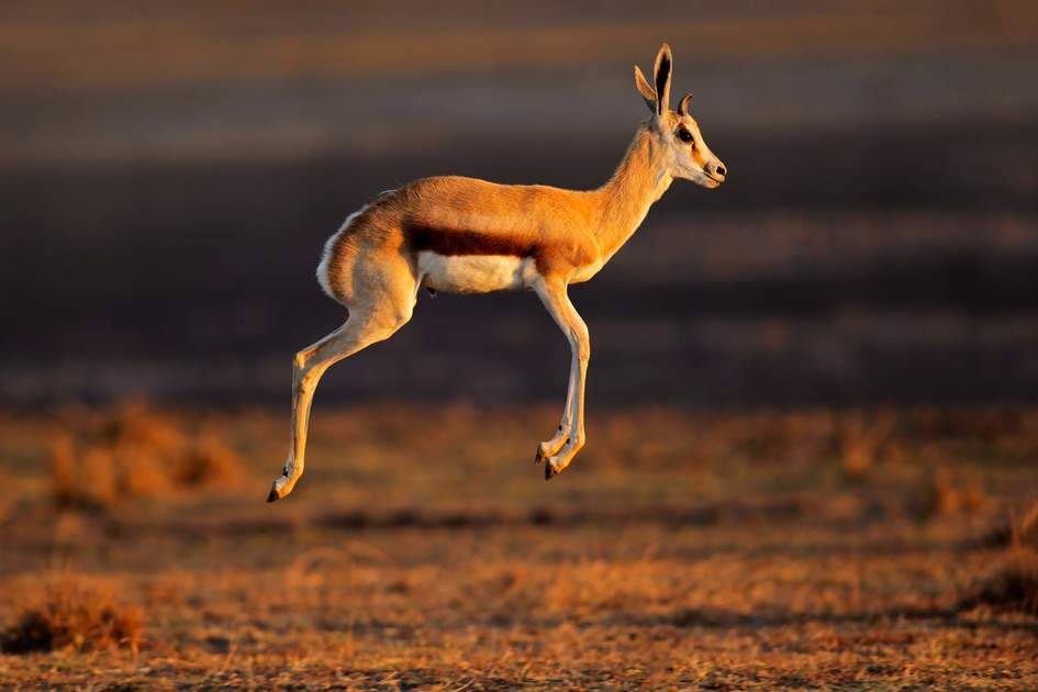 Springbok antelope (Antidorcas marsupialis) jumping or pronking, South Africa