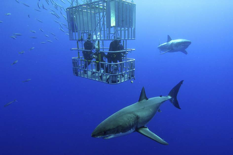 Great white shark swims around the diver's cage