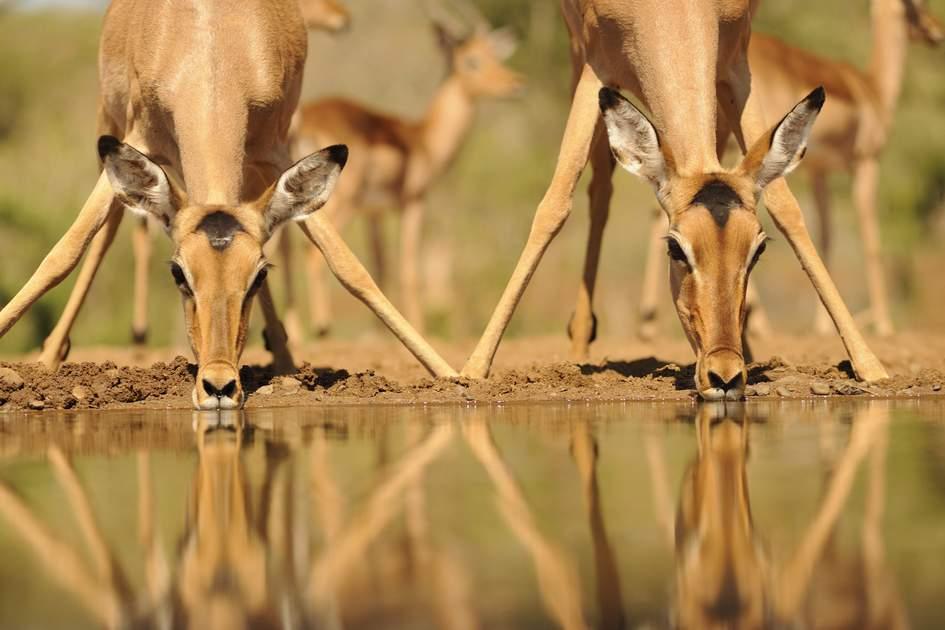 Impala (aepyceros melampus) reflected in waterhole while drinking. Zululand