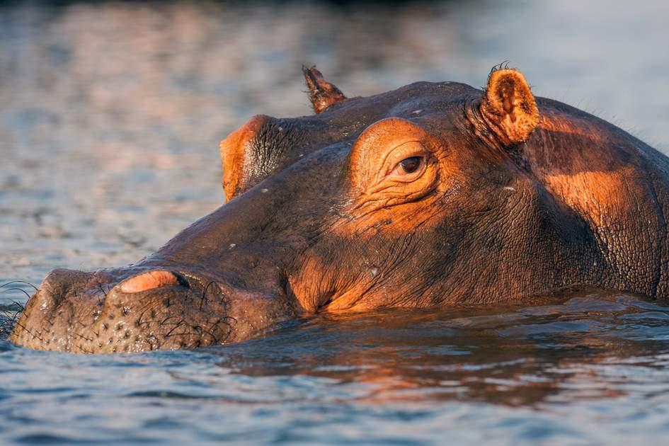 A hippo in Chobe National Park, Botswana