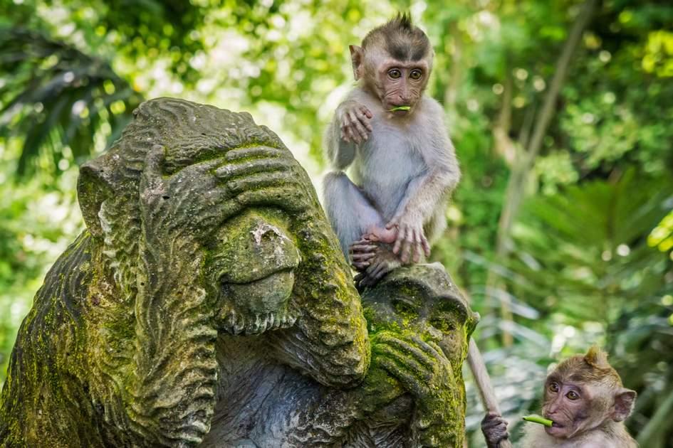 Monkeys in sacred monkey forest of Ubud, Bali, Indonesia
