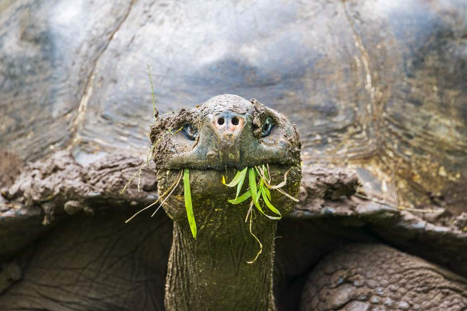 A hungry giant tortoise, Galápagos islands