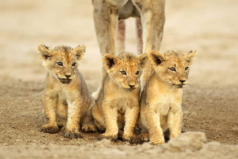 Three lion cubs in the Kalahari desert, South Africa
