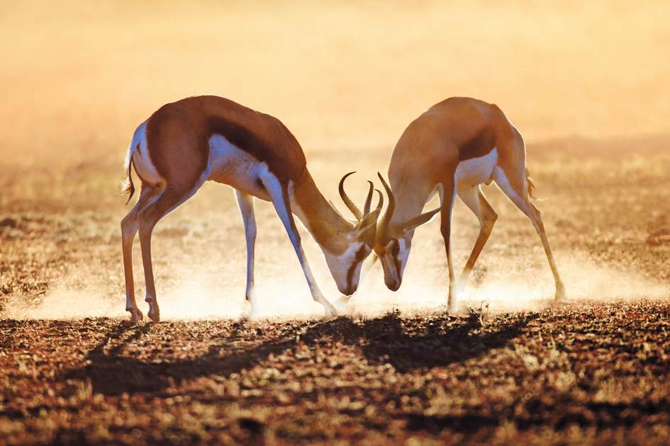 A springbok duel in the Kalahari desert, South Africa