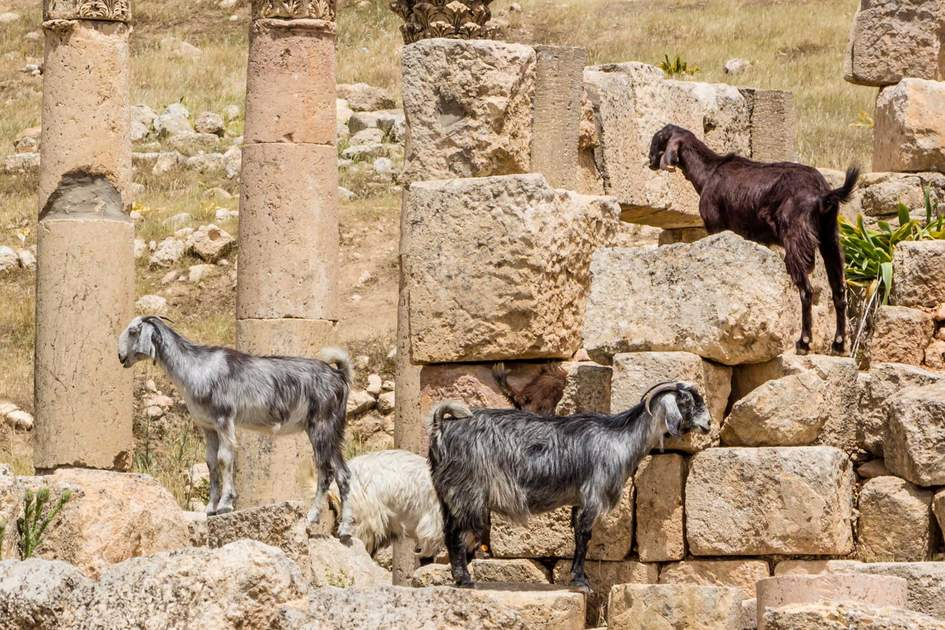 Three Damascus goats in Jerash Jordan