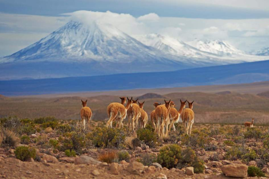 Group of vicuna (Vicugna vicugna) in Lauca National Park. In the background is the snow capped cone of the Tacora volcano (5980 m)