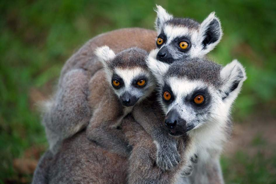 Ring-tailed lemurs (Lemur catta). Photo: Shutterstock