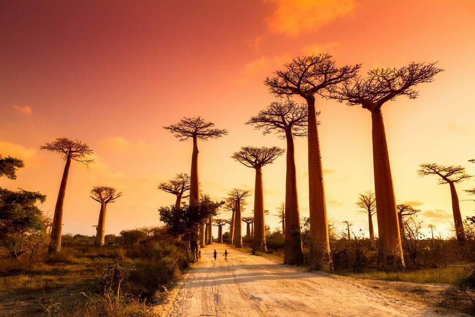 Weird and wonderful Baobab trees at sunset, Madagascar.