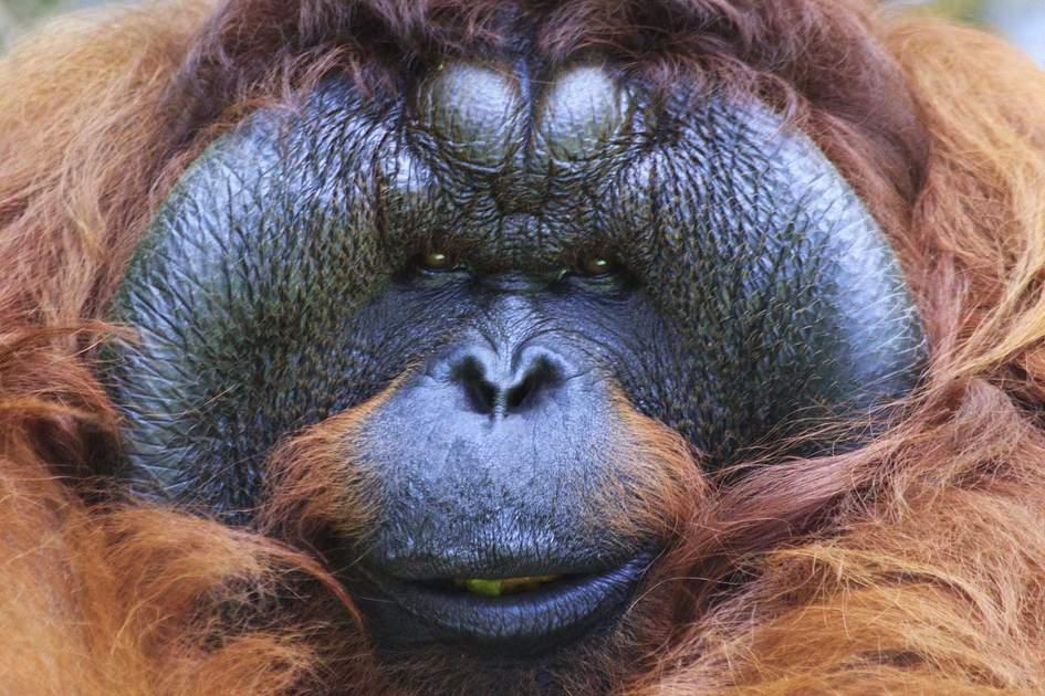Orangutan, Sabah, Malaysia.