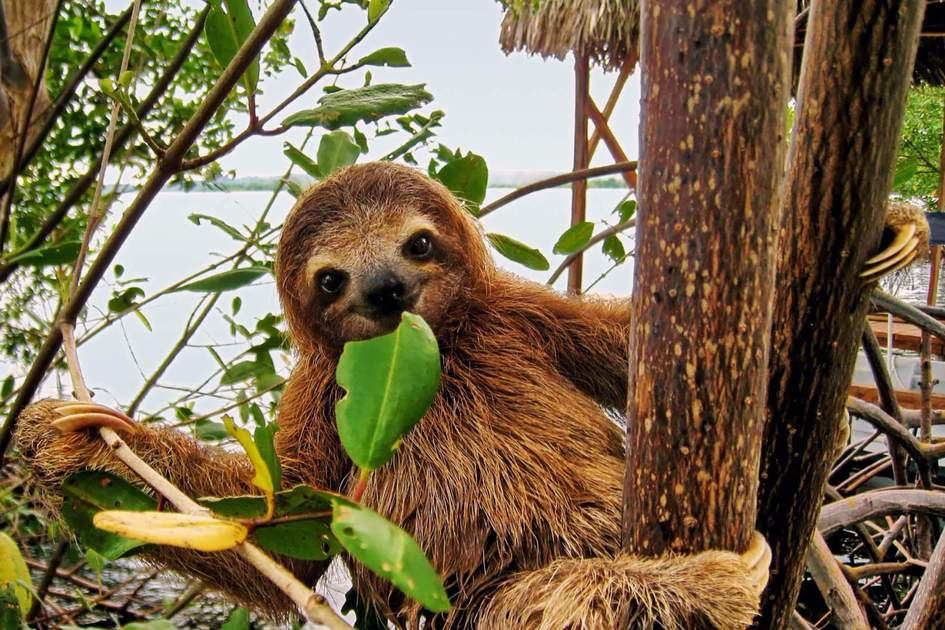 The brown-throated three-toed sloth