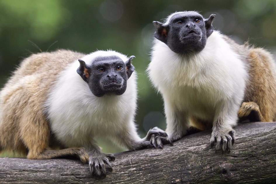 A pair of tamarin monkeys in Colombia