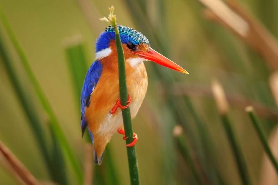 Malachite kingfisher. Photo: Shutterstock