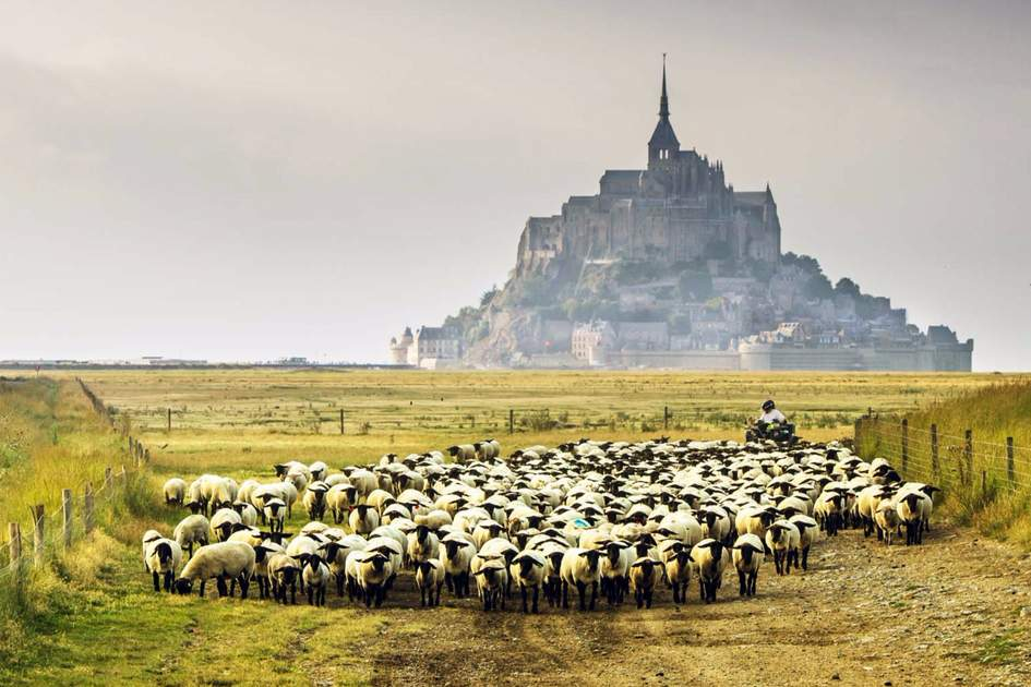 Herd of sheep near Mont-Saint-Michel, Normandy